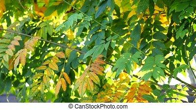 Rainbow rays, yellow maple leaf