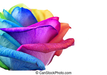 closeup of a rose with its petals with the colors of the rainbow flag against a white background with a blank space on the right