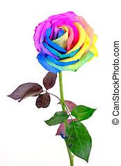 rainbow rose flower on white background