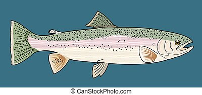 Detailed illustration of a rainbow trout on a blue backgorund