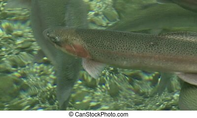 Rainbow Trout pool - Rainbow Trout close up in trout...