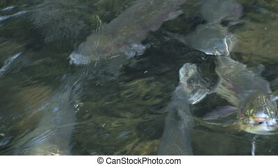 Rainbow Trout - Rainbow trout growing up at the Fish...