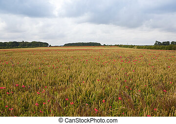 rainclouds over wheat and poppies