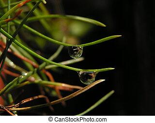 Raindrop on fir