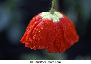 Raindrop Poppy