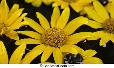 Raindrops are falling on floating in water yellow daisy. Beautiful