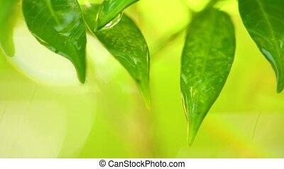 Raindrops Falling From Plant Foliage Rainy Scene - Raindrops...