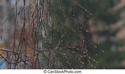 Raindrops on bare branches - Rain drops on branches in rainy...