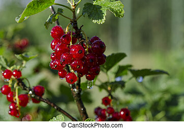 Raindrops on bunches of redcurrant berries that grow on a green bush in the garden