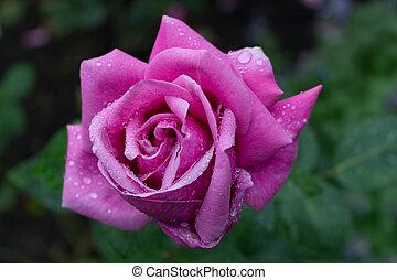 Raindrops on Red fuchsia Rose