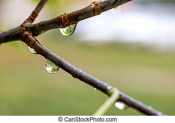 Raindrops on the branches of a tree close up