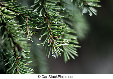 raindrops on the ends of fir branches