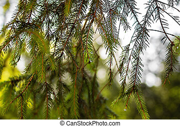 Raindrops on the needles of green spruce