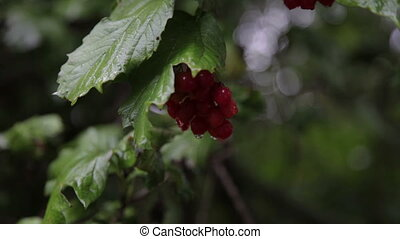 Raindrops on viburnum