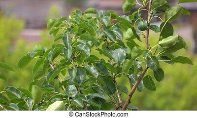 Raindrops on waving green tree leaves. Sunny weather 4K telephoto lens clip
