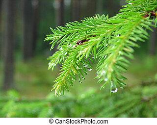 Raindrops - Rain drops on fur-tree branches