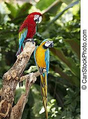 rainforest., groene, twee, papegaai