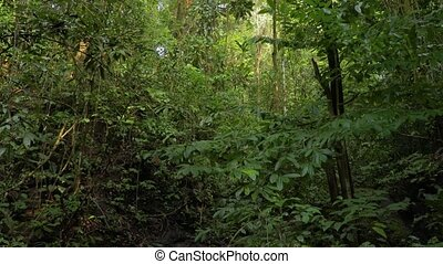 Rainforest, Lush Humid Woods - Lush green rainforest with...