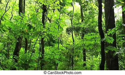 rainforest - Lush Rainforest in Hawaii