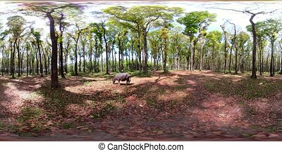 rainforest with large trees vr360 - vr360 bull grazing in a...