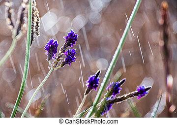 raining;, mały, kwiaty, oświetlany, słońce, lawenda, zamazany, znowu, tło, kawałek, wciąż
