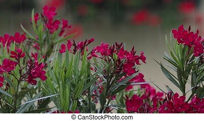 Raining on flowers - Raining, raindropson blooming plants,...