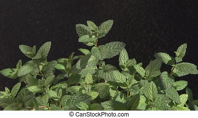 Raining over mint, black background - Detailed view of mint...