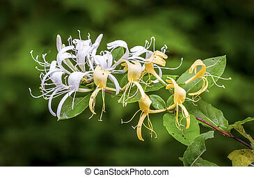 Honeysuckle flowers are wet with early morning raindrops.