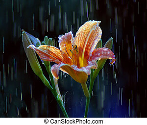 Rainy Daylilly - Daylilly in a rainshower