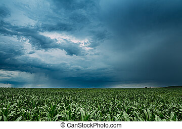 Rainy Sky With Rain Clouds On Horizon Above Rural Landscape Maize Field. Young Green Corn Plantation.