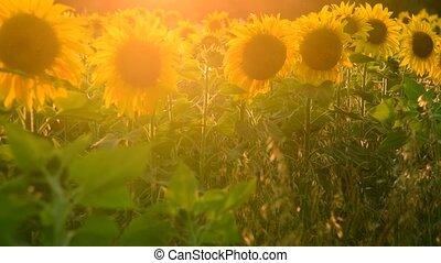 raios, sol, campo, armando, girassóis, florescendo