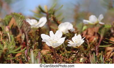 Raised moss close-up: Crowberry (Empetrum nigrum), Andromeda...