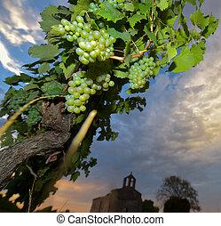 Raisin blanc-Vignoble Entre deux Mers - France, Aquitaine,...