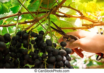 raisin, frais, mûre, vigne, grand, italy., branches, haut, ...