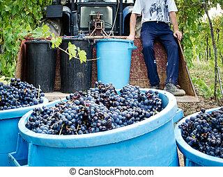 raisin, récolte
