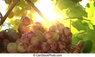 raisin, récolte, saison