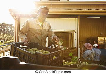 raisin, usine, boîtes, homme, déchargement, vin