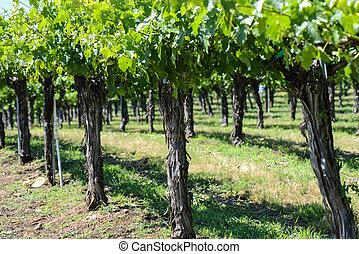 raisin, vignes, rang