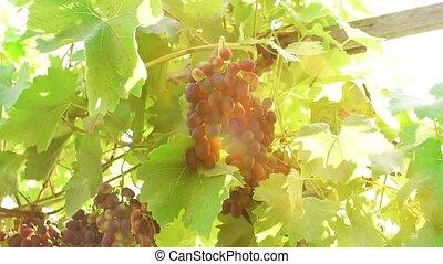 raisins noirs, branche, vignoble