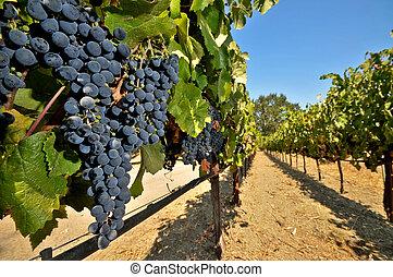 Champ De Vigne champ, vigne, raisins, vin. mûre, presque, vigne, champ, raisins, vin.