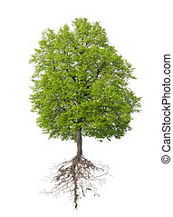 raiz, árvore