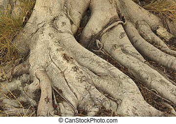 raiz, de, árvore banyan