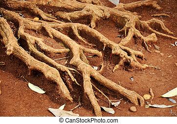 raiz, de, árvore grande