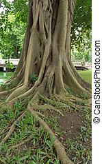 raiz, de, antiga, árvore
