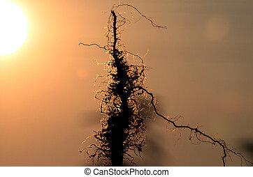 raiz, de, um, planta, ligado, pôr do sol