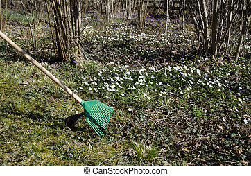 Raking dry leaves among flowers at spring