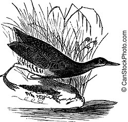 Rallus elegans or King rail vintage engraving