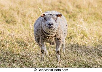 Ram, face of a male sheep head on - Ram on a farm, face of a...