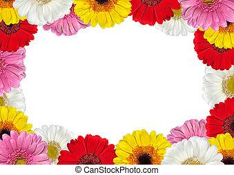 ram, fyllda, blomningen, färgrik, gerbera