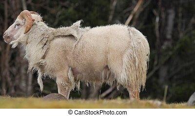 Ram grazing in the grass - Sheep grazing on a farm